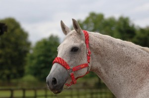 Cottage Craft Headcollar 300x199 - New Range From Cottage Craft