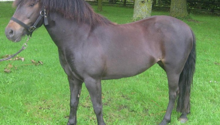 Tonic General cropped copy 750x426 - Rescued West Country pony Tonic is searching for a home