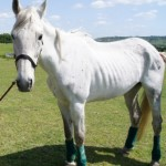 Cressida on day of rescue 150x150 - Cressida, believed to be the cousin of champion racehorse Desert Orchid is looking for a home.