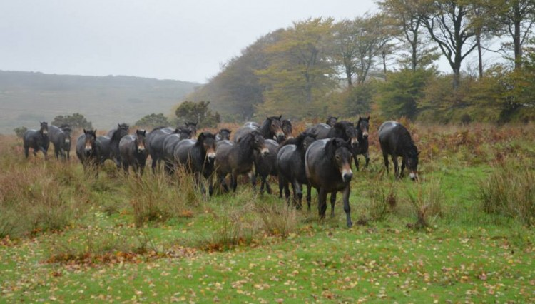 Anchor gathering 750x426 - The future of Exmoor Ponies...