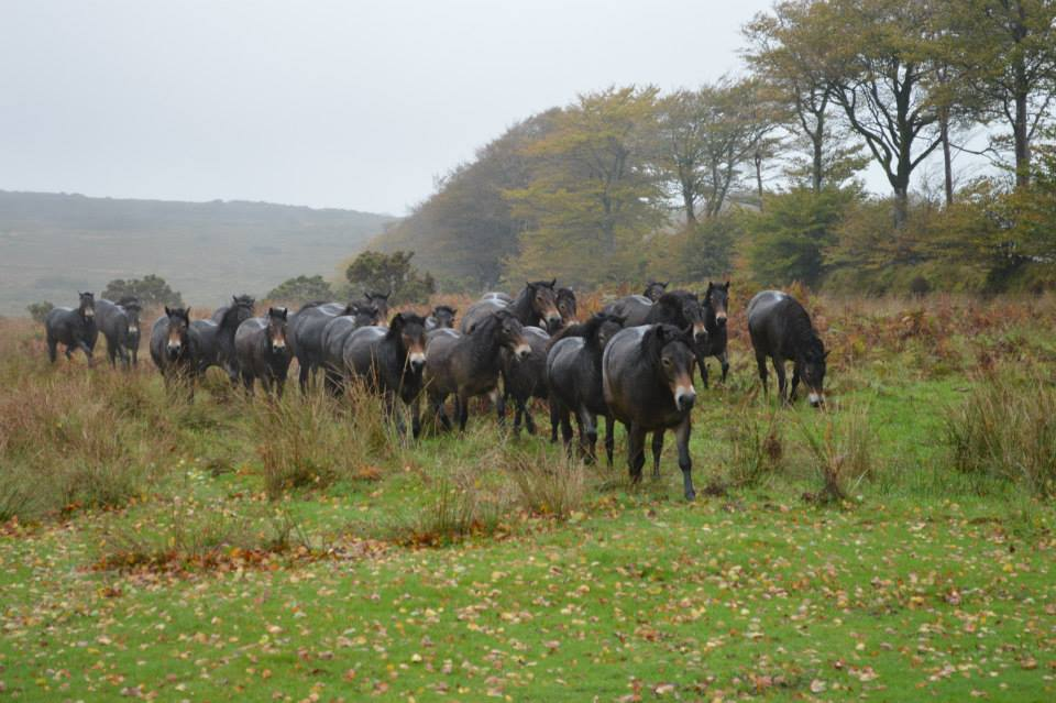 Anchor gathering - The future of Exmoor Ponies...