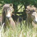 August herd pics 004 150x150 - Schools Poster Competition for the Exmoor Pony Festival 2014 Open to all schools