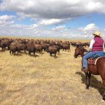 herding the domestic bison Zapata Ranch Colorado Ranch Rider 150x150 - Experience A Western Adrenaline Rush With Ranch Rider