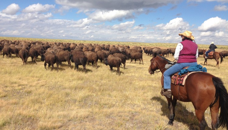 herding the domestic bison Zapata Ranch Colorado Ranch Rider 750x426 - Experience A Western Adrenaline Rush With Ranch Rider