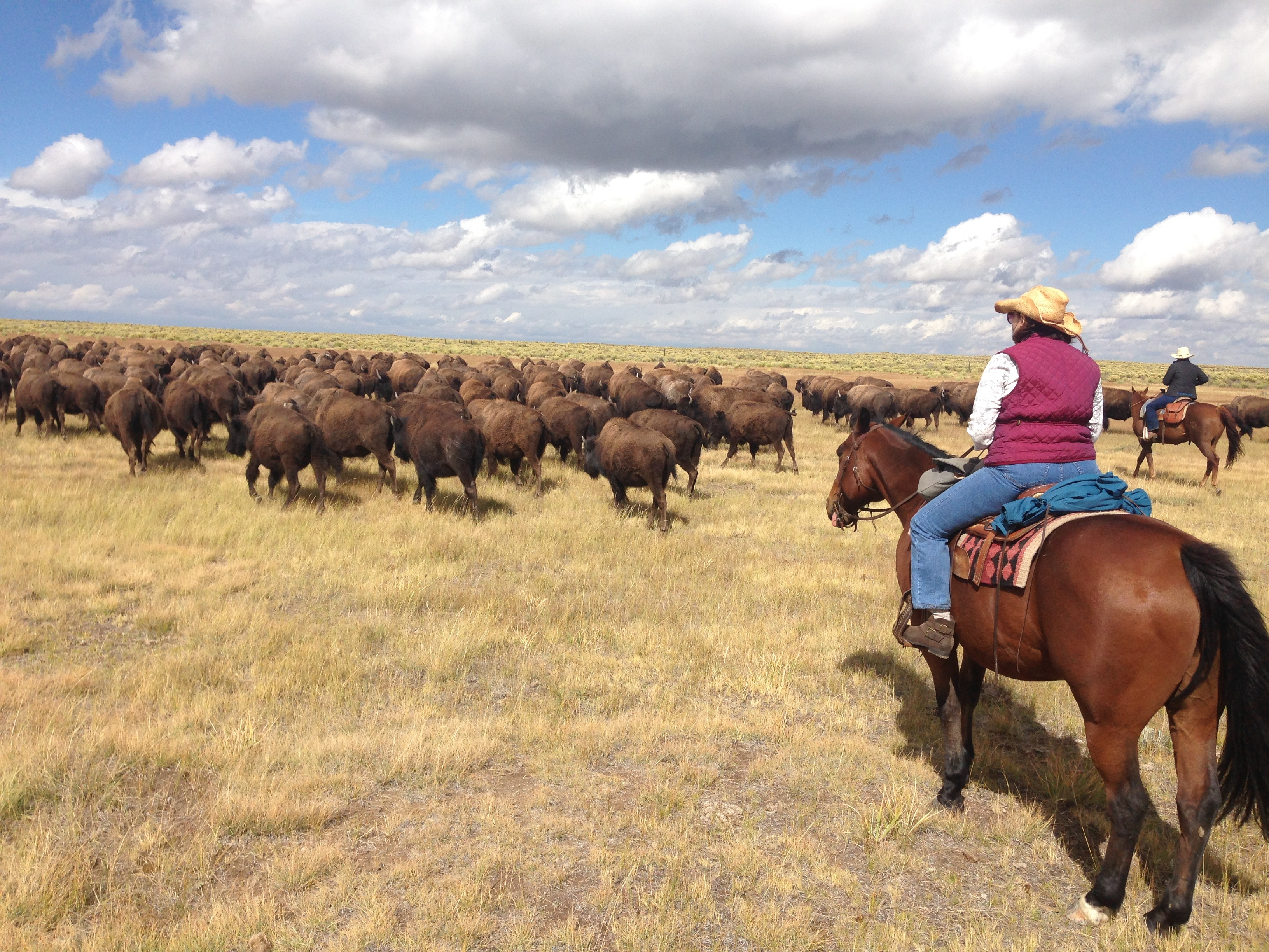 herding the domestic bison Zapata Ranch Colorado Ranch Rider - Experience A Western Adrenaline Rush With Ranch Rider