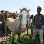 Grey horse 150x150 - Vets with Horsepower 2015 ride again for the Gambia Horse and Donkey Trust
