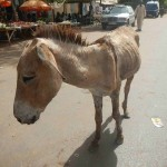 Horace abandoned 150x150 - Vets with Horsepower 2015 ride again for the Gambia Horse and Donkey Trust