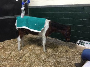 IMG 3530 300x225 - Collapsed foal rescued on Christmas day finally back on his hooves