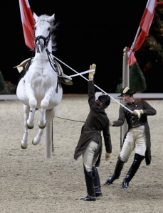 LONDON, ENGLAND - NOVEMBER 24:  A white lipizzaner Stallion performs during the Spanish Riding School of Vienna Gala Performance at Wembley Arena on November 24, 2011 in London, England. The Spanish Riding School and their famous white Lipizzaner horses were last in London five years ago. The highly trained riders and horses of the 430 year old 'High School for classical horsemanship' are based in the Hofburg Palace in Vienna.  (Photo by Chris Jackson/Getty Images)