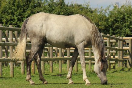 emerald now safe and well in charity care 436x291 - Woman Sentenced for Horse Cruelty