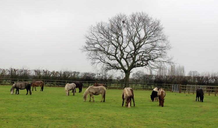 Bodmin Intake Jan 2017 750x440 - Bransby Horses Welcomes Additional Ponies from Bodmin Moor