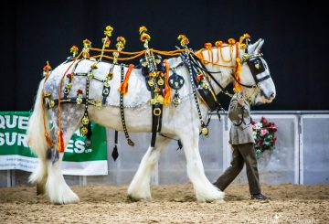 Shire Horse Society National Show photo credit Tracy Muir Photography www.tracymuirphotography.co .uk  360x245 - Visitors raring to attend the world's largest gathering of Shire horses