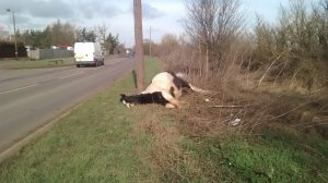 dying mare 300x168 - The RSPCA is investigating after a dying pregnant horse was dumped by the side of the road in Orsett, Essex.