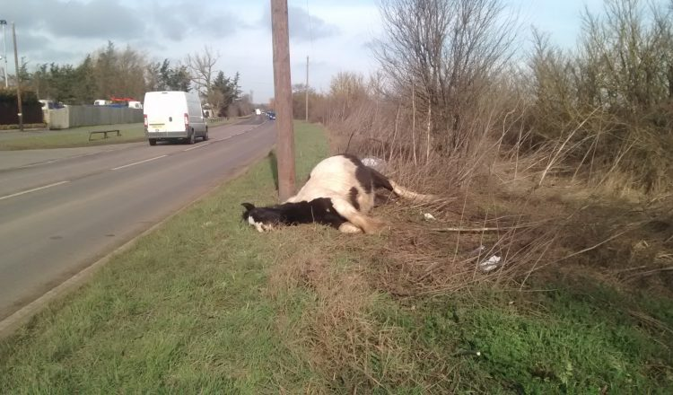 dying mare 750x440 - The RSPCA is investigating after a dying pregnant horse was dumped by the side of the road in Orsett, Essex.