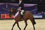 HOYS N1H 7022 C021 SEIB Racehorse to Riding Horse Championship 150x100 - Beware Chalk Pit in top form to take the SEIB Racehorse to Riding Horse of the Year Championship