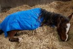 Poorly Peeta 150x100 - Peeta's battle – Horse rescue charity's fight to save young horse.
