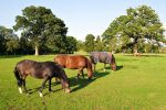 Grazing horse 150x100 - 5 horse care tips for Spring with Millbry Hill