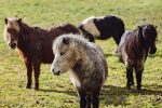 1 Please credit Helen Yates Blue Cross 150x100 - 22 neglected Shetland ponies brought back from brink by Blue Cross