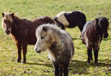 1 Please credit Helen Yates Blue Cross 360x245 - 22 neglected Shetland ponies brought back from brink by Blue Cross