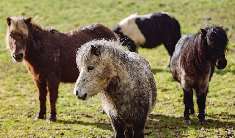 1 Please credit Helen Yates Blue Cross 750x440 - 22 neglected Shetland ponies brought back from brink by Blue Cross
