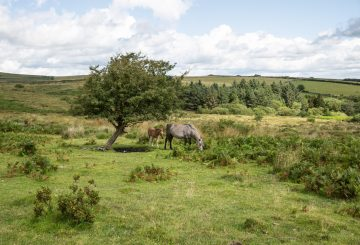 Mare and foal grazing in Dartmoor National Park in Devon which contains the largest concentration of Bronze Age remains in the UK suggesting a once strong resident p 360x245 - EQUINE JOURNEYS ... by Hossein Amirsadeghi