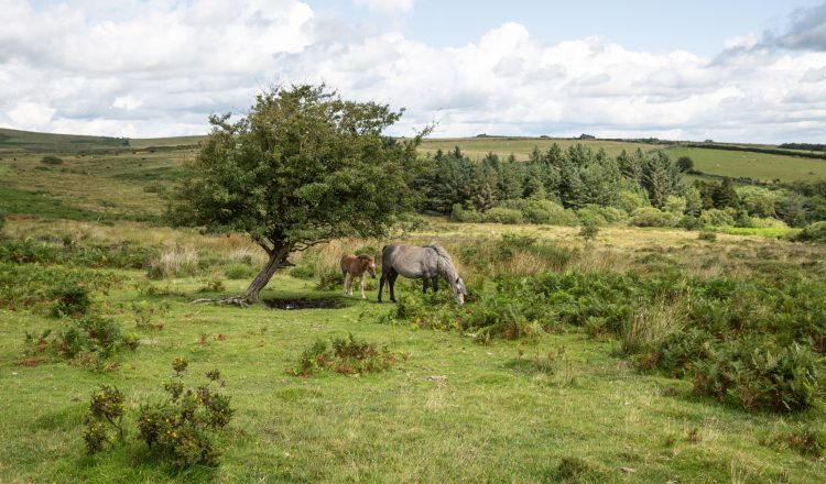 Mare and foal grazing in Dartmoor National Park in Devon which contains the largest concentration of Bronze Age remains in the UK suggesting a once strong resident p 750x440 - EQUINE JOURNEYS ... by Hossein Amirsadeghi
