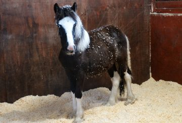 Buddy 1 360x245 - Young pony dumped on roadside finds safe home at Redwings