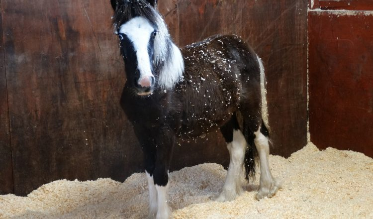 Buddy 1 750x440 - Young pony dumped on roadside finds safe home at Redwings