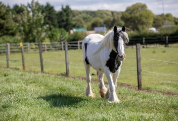 Buttercup World Horse Welfare 2 360x245 - Stunning transformation from virtual skeleton to show winner: amazing rescued pony now ready for her new home