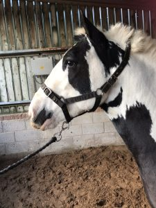 A66FAD51 AD91 4225 9E91 EC2DCC90970D 225x300 - Man banned from keeping horses for ten years