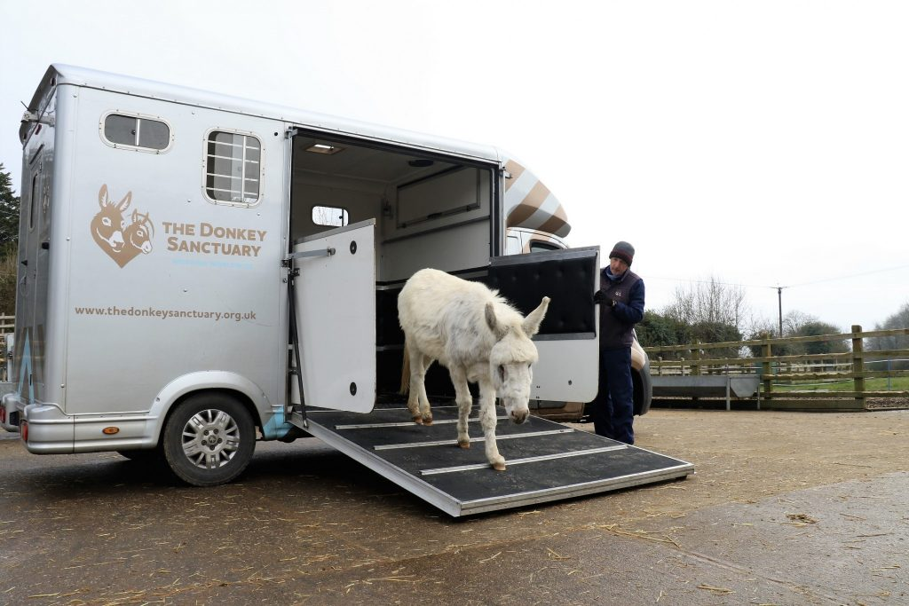 Snowy arrives back at the sanctuary The Donkey Sanctuary 1024x683 - Suspected sarcoid meant urgent treatment for Snowy the donkey