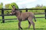 Lockie the foal The Donkey Sanctuary Ireland ii 150x100 - Donkey born during lockdown has been named 'Lockie'