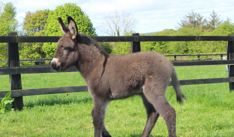 Lockie the foal The Donkey Sanctuary Ireland ii 750x440 - Donkey born during lockdown has been named 'Lockie'