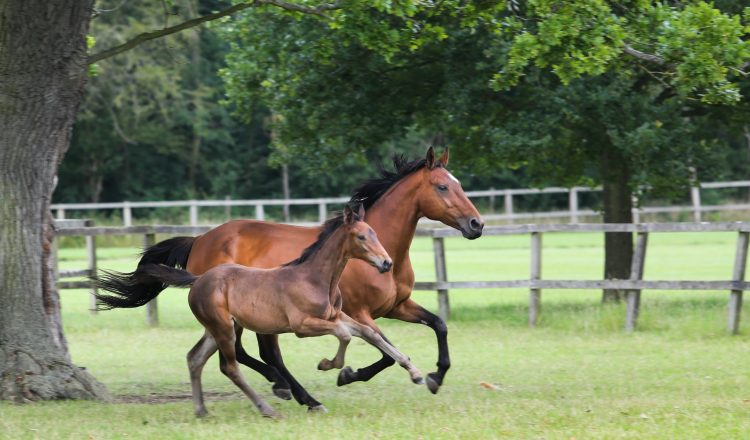 Foals and Mares galloping in the fields