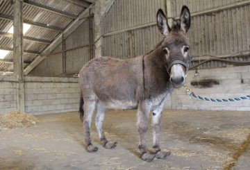 overgrown hooves on a donkey