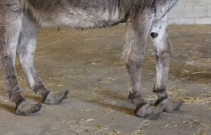 Lincolnshire donkey relinquishment The Donkey Sanctuary ii LR 300x193 - Lincolnshire donkey with overgrown hooves taken into the care of The Donkey Sanctuary