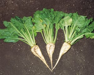 sugar beet 300x239 - From Field to Feed – Only the Best for British Horse Feeds