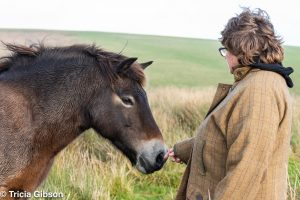 DSC 2321 300x200 - Owners group brings at-risk Exmoor pony bloodlines back to Exmoor