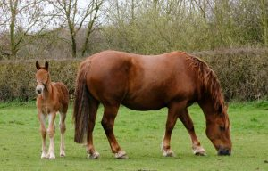 Pheo and mum Miri 300x192 - Yorkshire-bred foal canters into history books