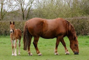 Pheo and mum Miri 360x245 - Yorkshire-bred foal canters into history books