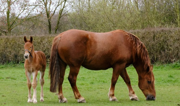 Pheo and mum Miri 750x440 - Yorkshire-bred foal canters into history books