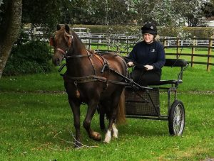 george 300x227 - Rescue pony delights rehomers by winning national carriage driving award