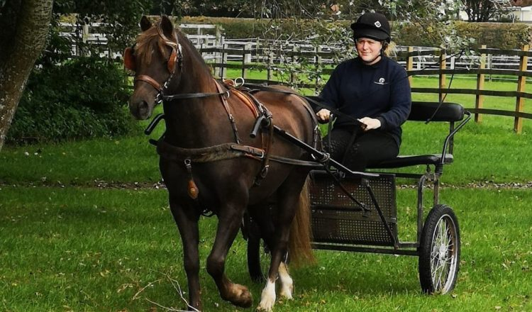 george 750x440 - Rescue pony delights rehomers by winning national carriage driving award