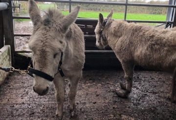 Holly Snowy L R at time of rescue The Donkey Sanctuary 360x245 - The Donkey Sanctuary