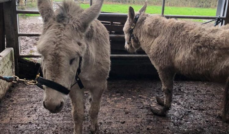 Holly Snowy L R at time of rescue The Donkey Sanctuary 750x440 - The Donkey Sanctuary
