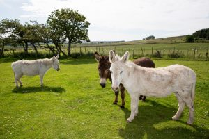 Snowy Gilly and Holly L R in the care of The Donkey Sanctuary The Donkey Sanctuary 300x200 - The Donkey Sanctuary